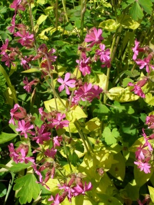 Silene dioica 'Ray's Golden'