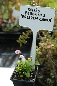 Bellis perennis 'Dresden China'