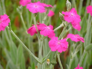 Lychnis x walkeri 'Hill Grounds'
