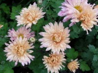 Chrysanthemum 'Esther'